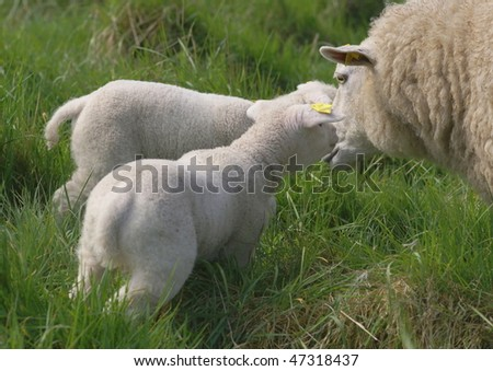 young newborn lambs with mother sheep