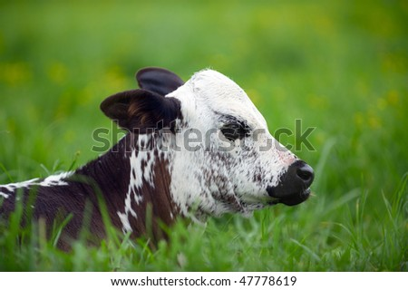 Young Nguni calf in the grass - stock photo