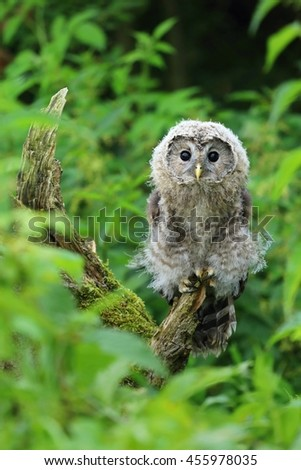 Young nordic tawny owl - stock photo