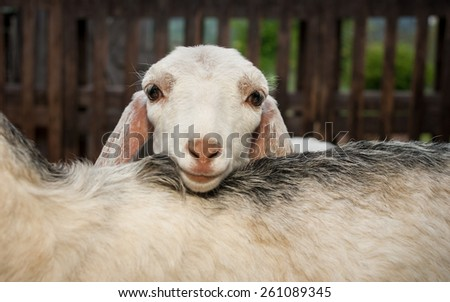 Young nubian goat - stock photo