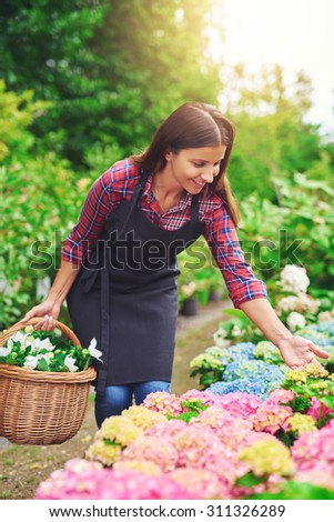 Young nursery worker checking pink hydrangea plants while collecting fresh flowers for sale bending over to examine a flowering plant - stock photo