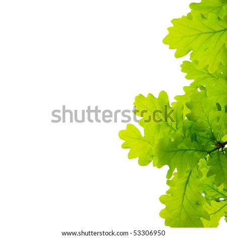 Young oak leaves Isolated on white background - stock photo