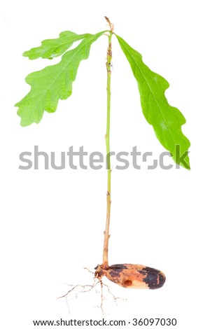 Young oak tree and its roots isolated on white background - stock photo