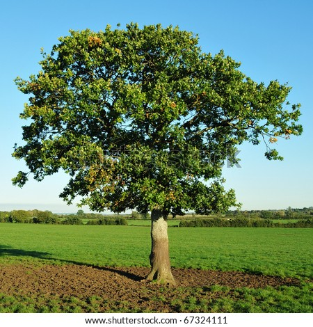 Young Oak Tree Standing in a Green Field in Summer - stock photo