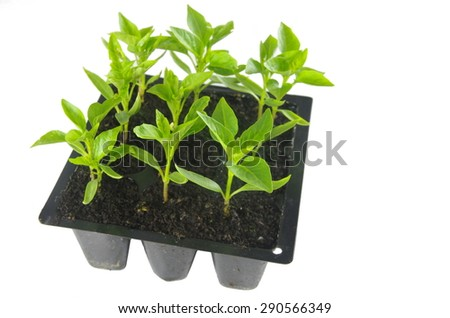 young of the paprika seedling in fertile the groundfresh - stock photo