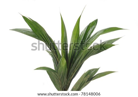 Young oil palm tree leaf isolated white background