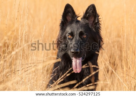 Young Old German Shepherd Dog (Black) with a yellow background
