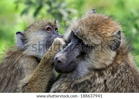 Young olive baboon in Masai Mara National Park of Kenya - stock photo