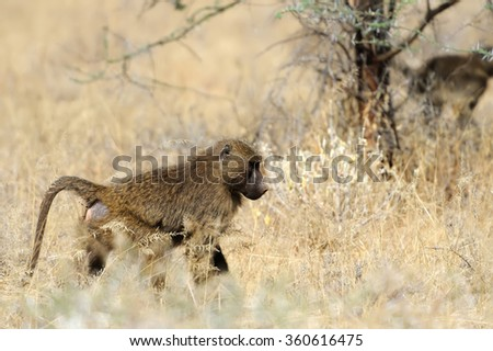 Young olive baboon in Masai Mara National Park of Kenya - stock photo