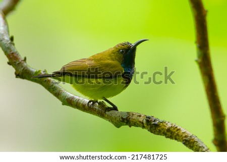 Young Olive-backed sunbird catch on the branch in nature - stock photo