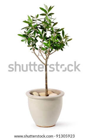 Young olive tree in stylish ceramic pot isolated on white background - stock photo