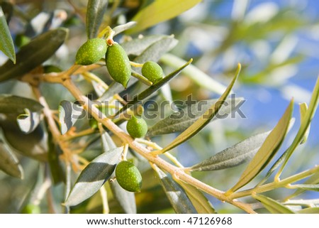 young olives on the tree