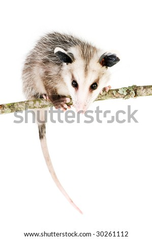 Young opossum balanced on branch on white background - stock photo