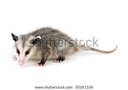 Young opossum on white background - stock photo