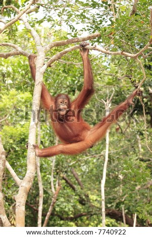Young Orang-Utan swinging through trees - stock photo