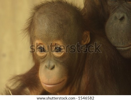 Young orang-utan with his mother - stock photo