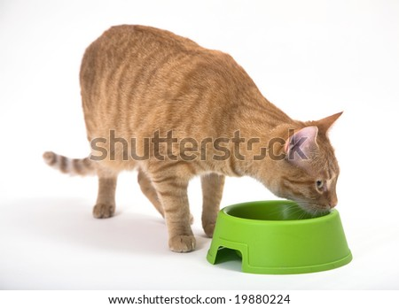 Young orange tabby house cat enjoying her food from the green bowl. Isolated against white background with copy space on the right.