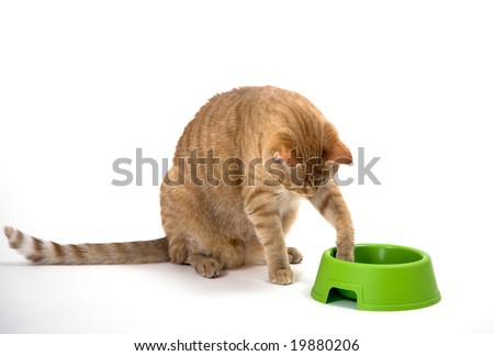 Young orange tabby house cat sitting low near empty bowl. Isolated against white background.