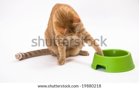 Young orange tabby house cat with its paw in the green pet as if trying to move it closer. Isolated against white background