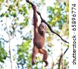 Young orangutan hanging on vine - stock photo
