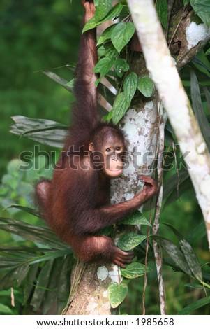 Young Orangutan in the Jungle of East Borneo - stock photo