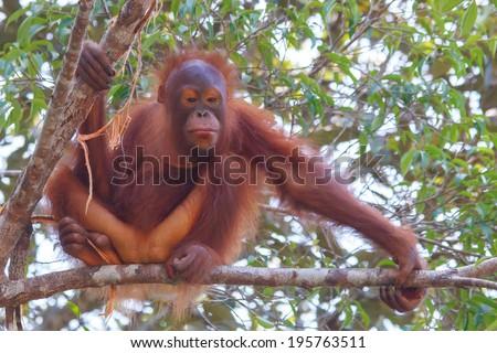 Young Orangutan in tree - stock photo