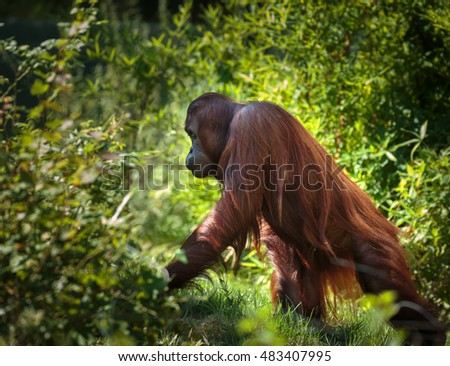 Young orangutan walking through the dense forest