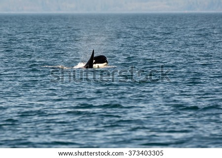 Young Orca - stock photo