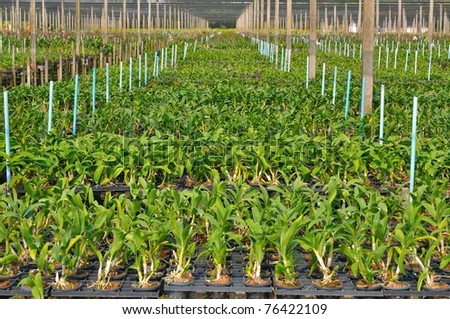 Young orchid farm in Nakhonpathom, Thailand. - stock photo