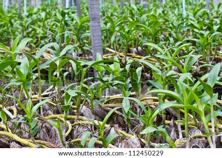 Young orchid in the farm - stock photo