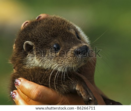 Young otter in woman's hand, closeup - stock photo