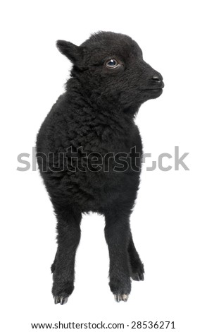 Young Ouessant ram (1 month old) in front of a white background