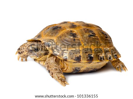 Young overland turtle on a white background - stock photo