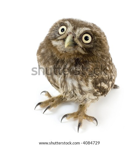 young owl in front of a white background - stock photo