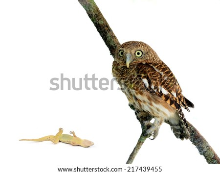 Young owl perching on branch in front of white background - stock photo