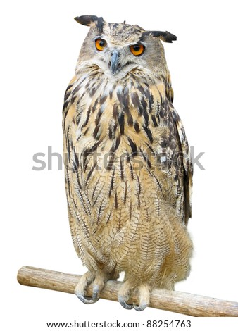 Young owl perching on branch over white background