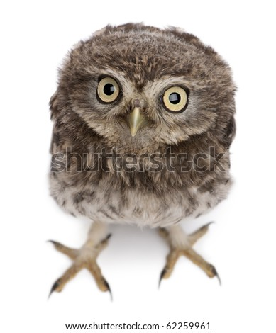Young owl standing in front of white background - stock photo