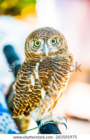 Young owl, Thailand - stock photo