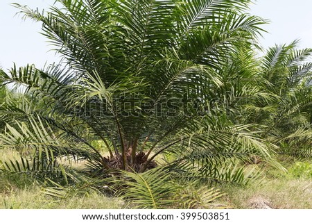 Young palm oil about 3 years old