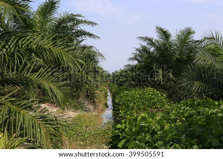 Young palm oil plantation about 3 years old