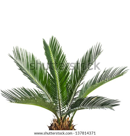 Young palm tree cycas revoluta isolated on white background