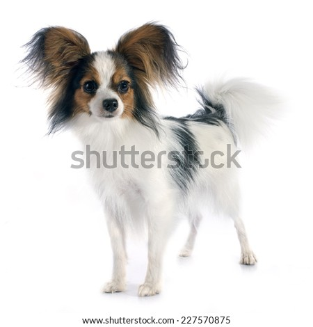 young papillon in front of white background