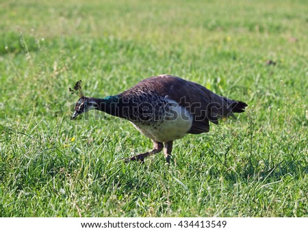 Young peahen grazing on a green meadow