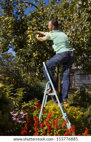 young people gather apples standing on a stepladder - stock photo
