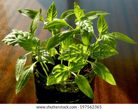 young pepper seedlings growing in plastic container - stock photo
