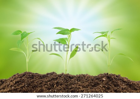 Young pepper seedlings on the natural blurry background - stock photo