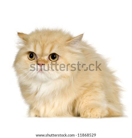 Young persian cat (6 months) in front of a white background