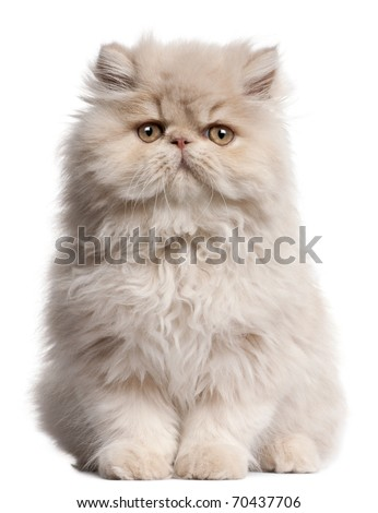 Young Persian cat sitting in front of white background - stock photo