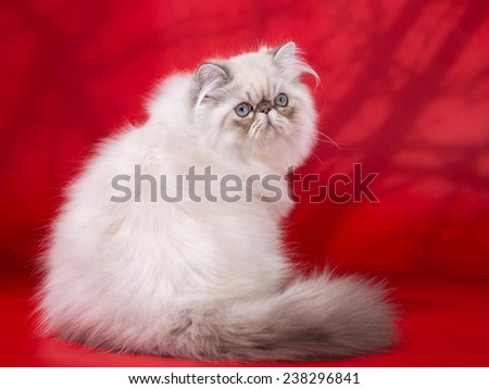 Young Persian cat, sitting on red  background. Not isolated. Imitation shadows from tree branches.