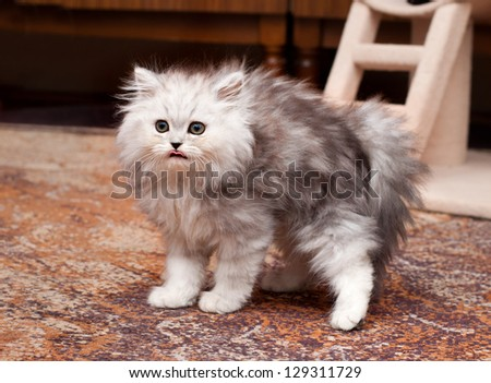 young persian scary kitten - stock photo